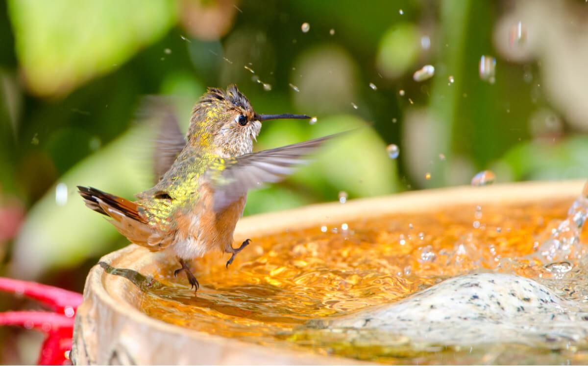 Um colibri se banha em uma fonte.
