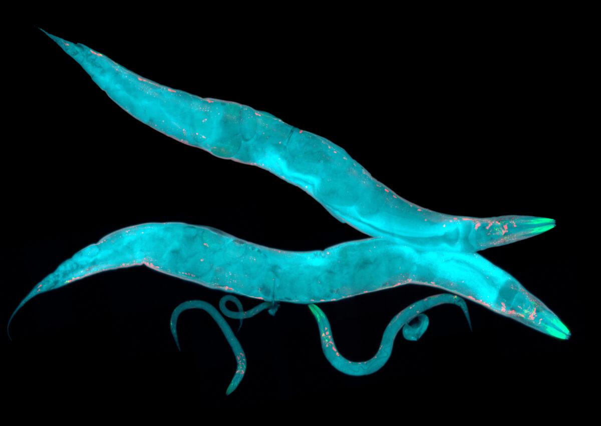 La comunicación en gusanos es mucho más compleja de lo que parece.