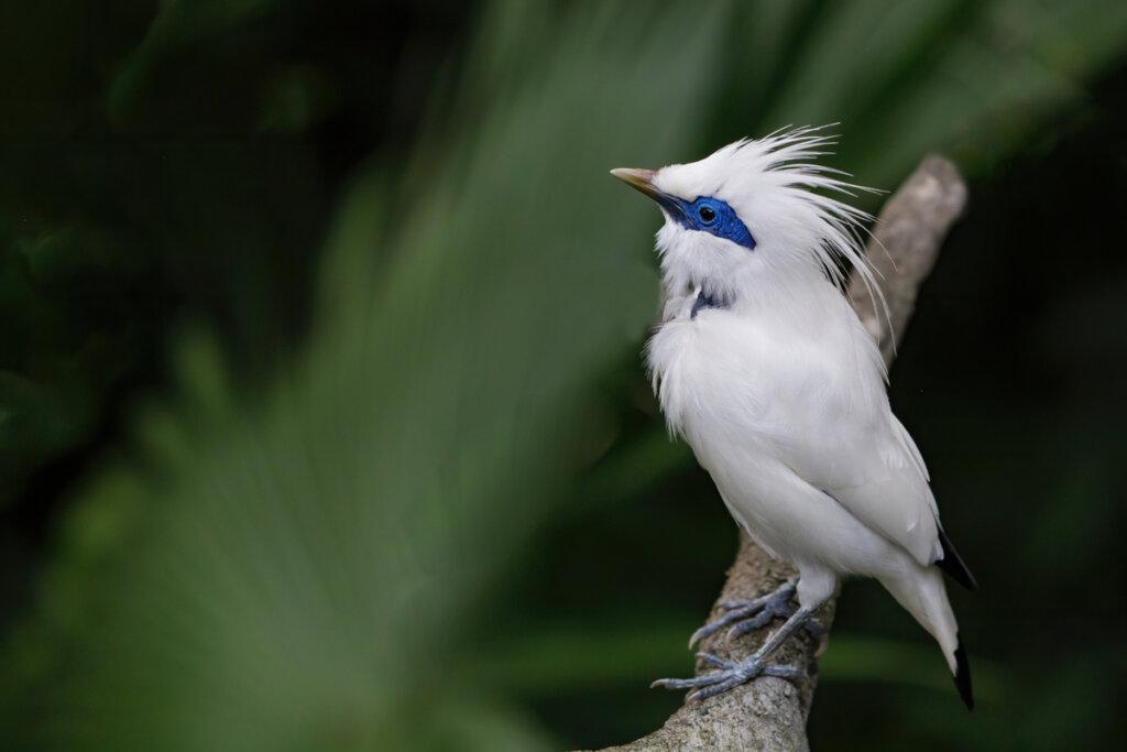 El estornino de Bali: un hermoso pájaro en peligro crítico