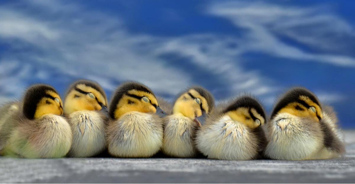 El estrés térmico puede acabar con las crías.