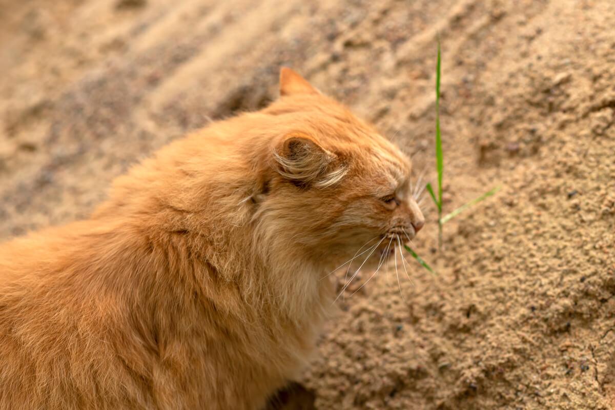 ¿Qué hace que los gatos coman tierra?