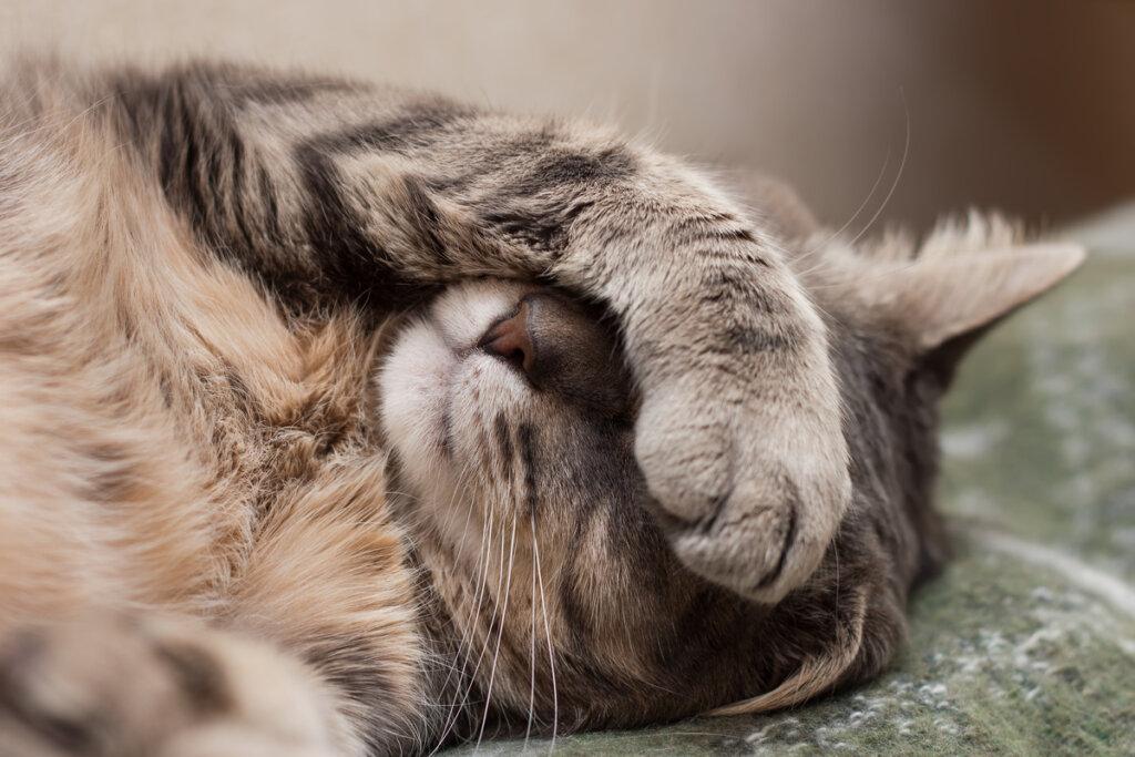 Disautonomía felina o síndrome de Key-Gaskell: síntomas y tratamientos