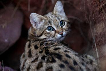 Gato patinegro: un felino amenazado