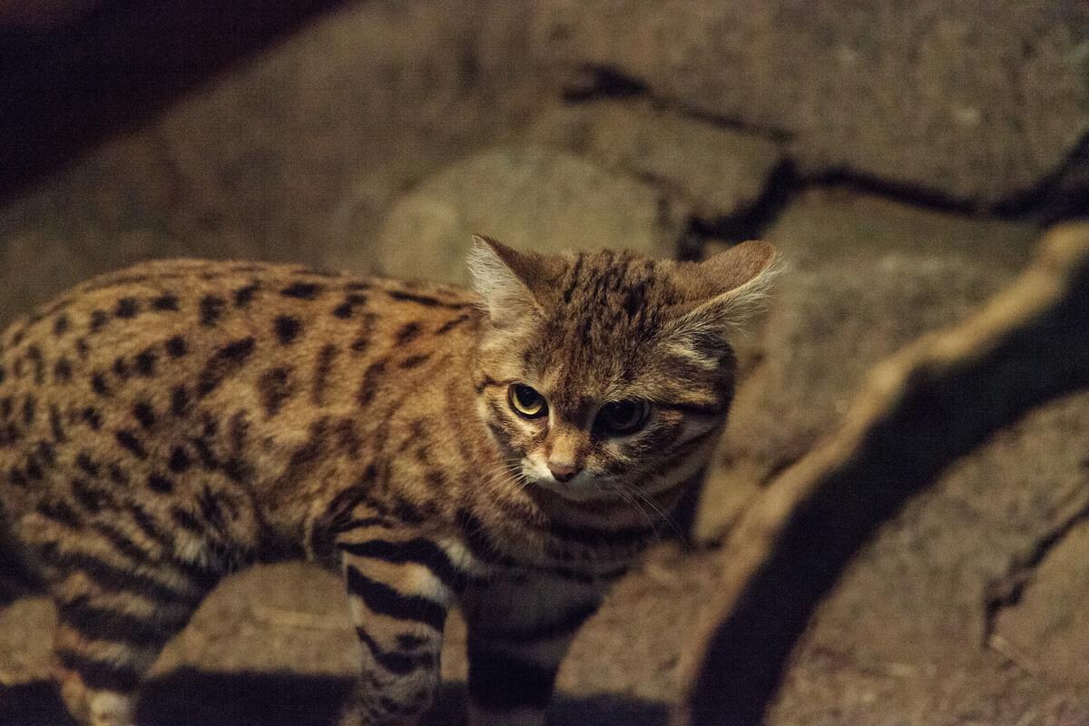 Un gato patinegro en la oscuridad.