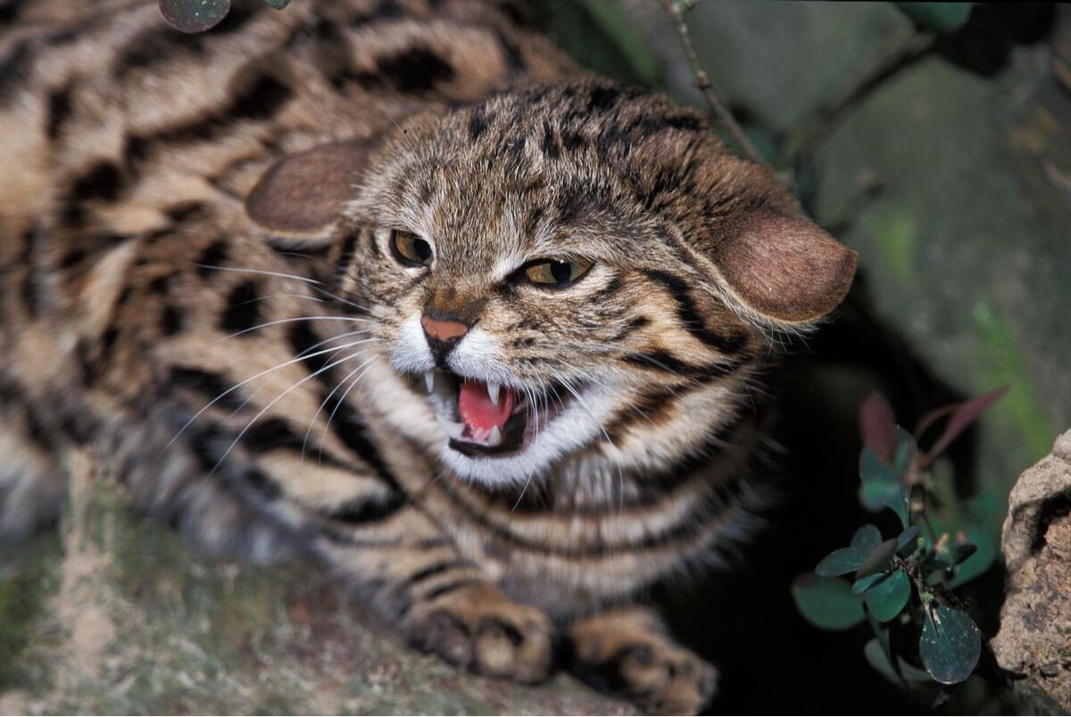 Un gato patinegro en posición de defensa.