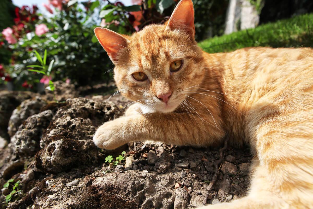 ¿Cuáles son las causas de que los gatos coman tierra?