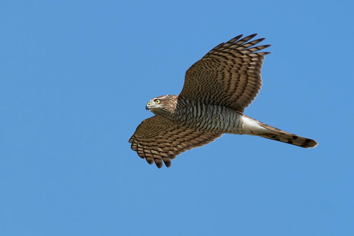 Un gavilán común volando.