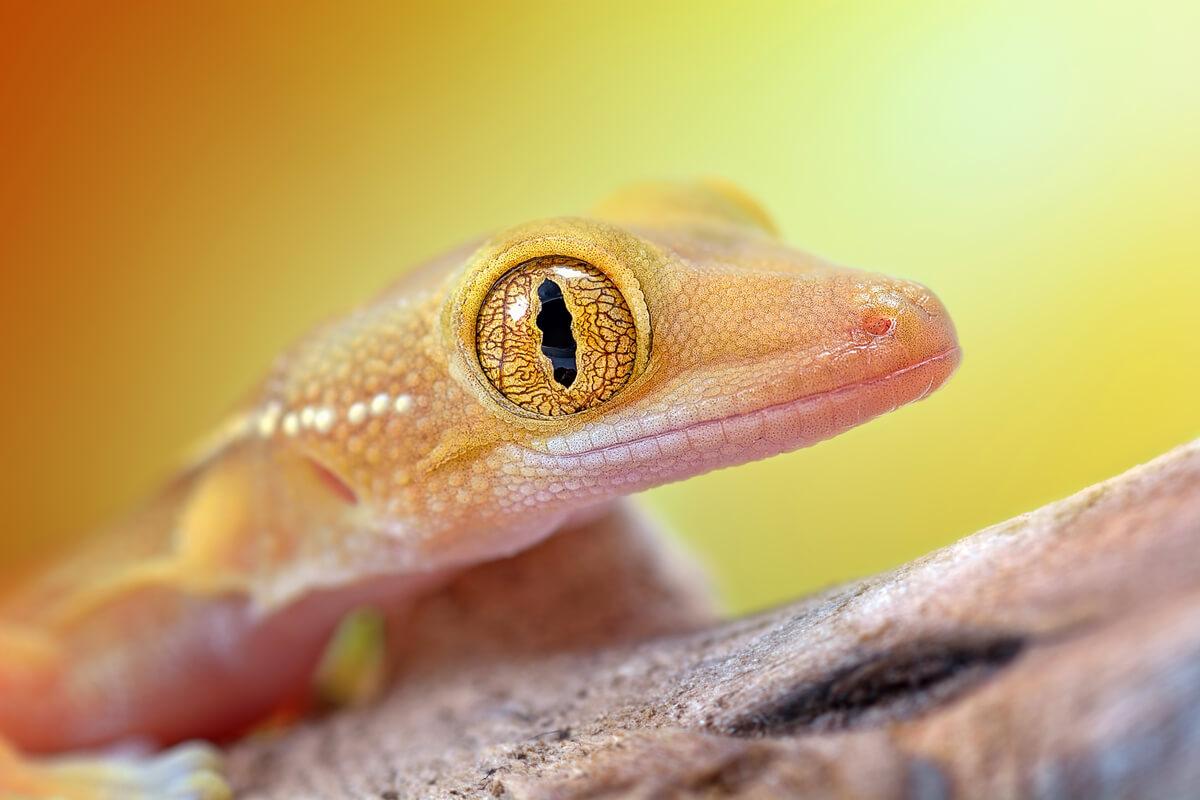 La boca de un gekko vittatus.