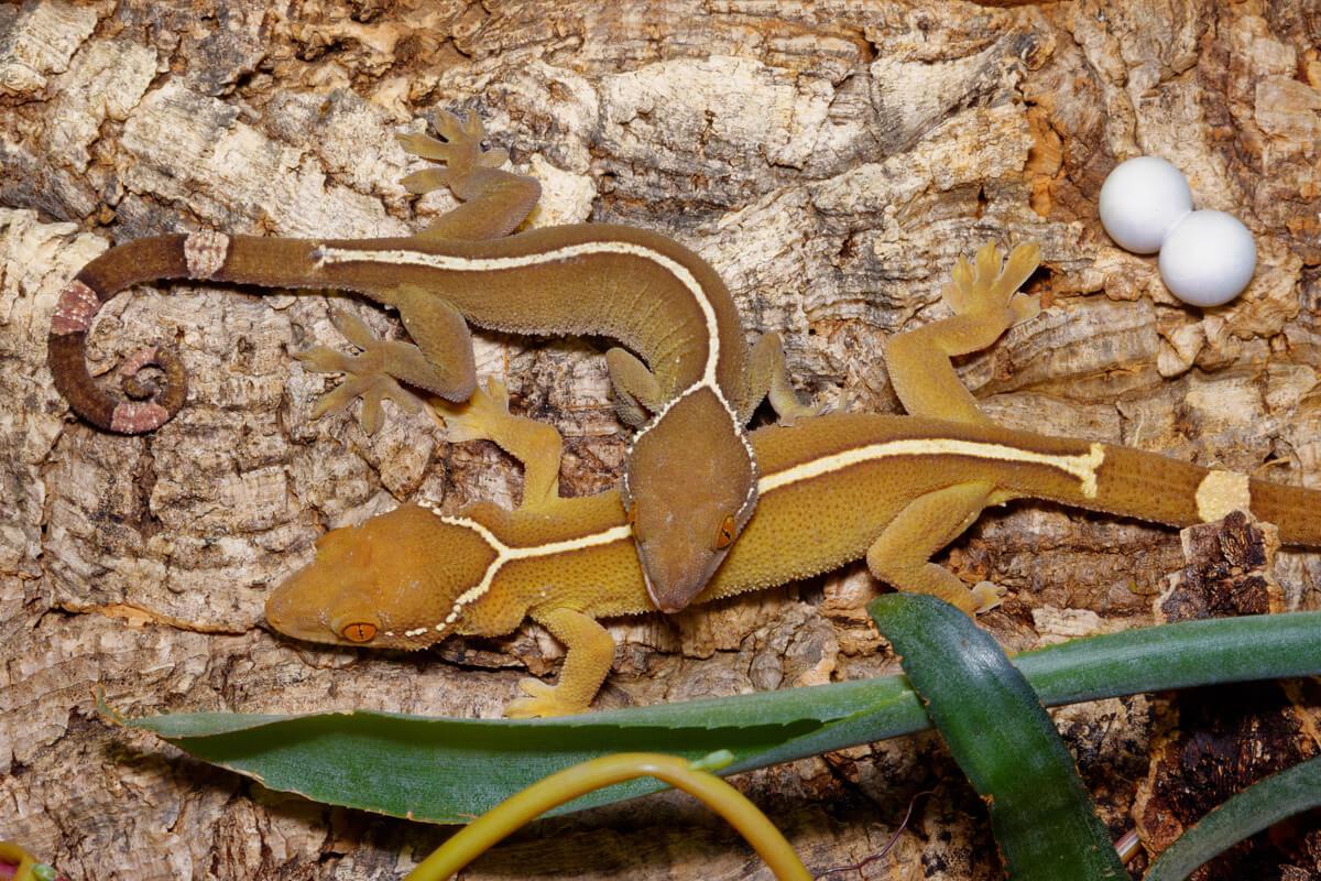 Gecko de línea blanca (Gekko vittatus): cuidados en cautiverio