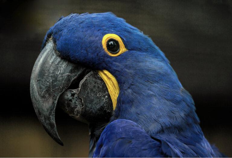 Guacamaya azul: hábitat y características