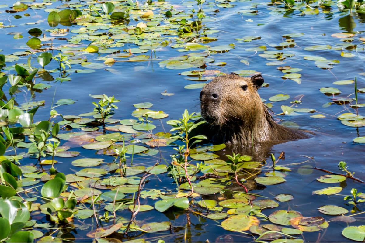 Una capibara asoma la cabeza.