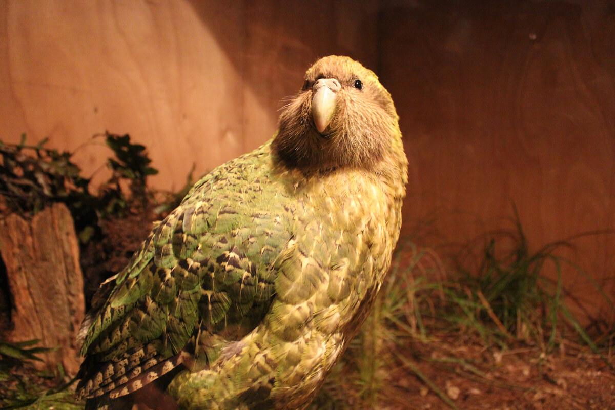 Um kakapo completo.
