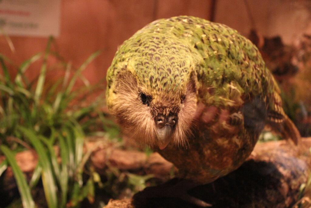 Kakapo: el pájaro del año 2020 en Nueva Zelanda