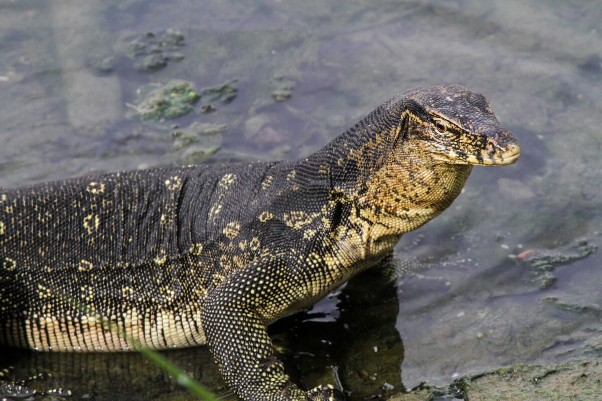Un lagarto monitor acuático tumbado.