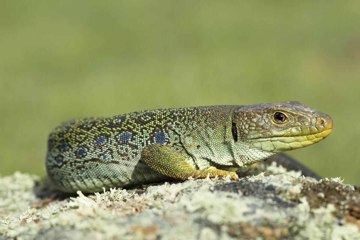 Los reptiles termorregulan.