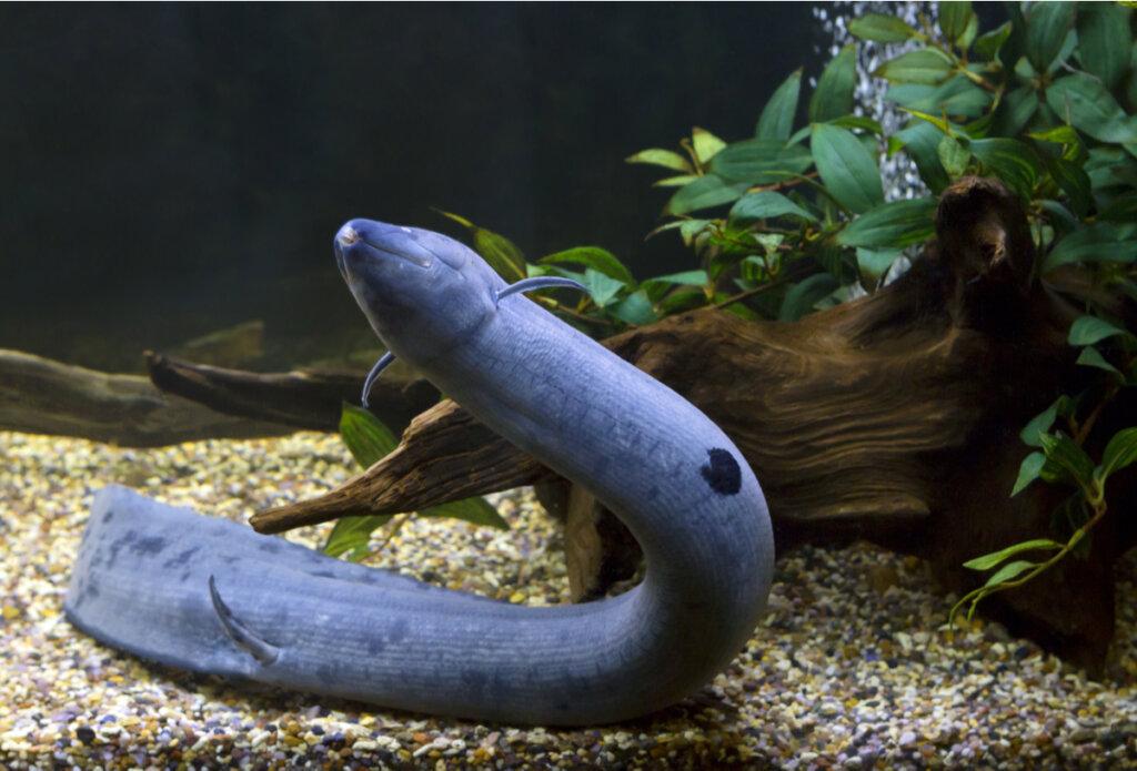 Lepidosiren paradoxa, un pez con pulmones