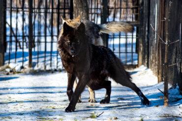 Lobo negro: ¿por qué es tan misterioso?