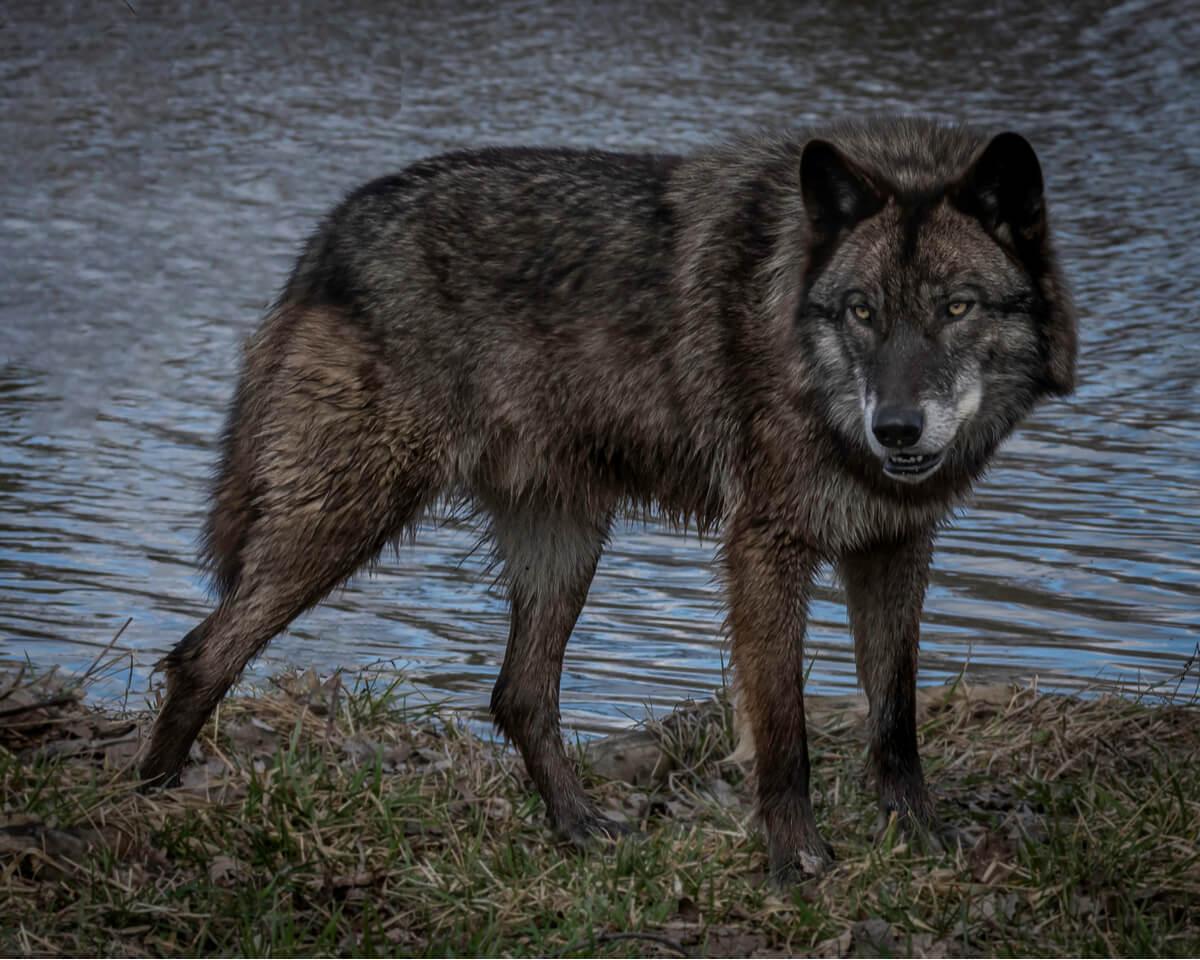 Un lobo negro frente a un río.