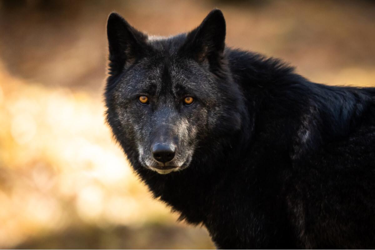 Un lobo negro mira a cámara.