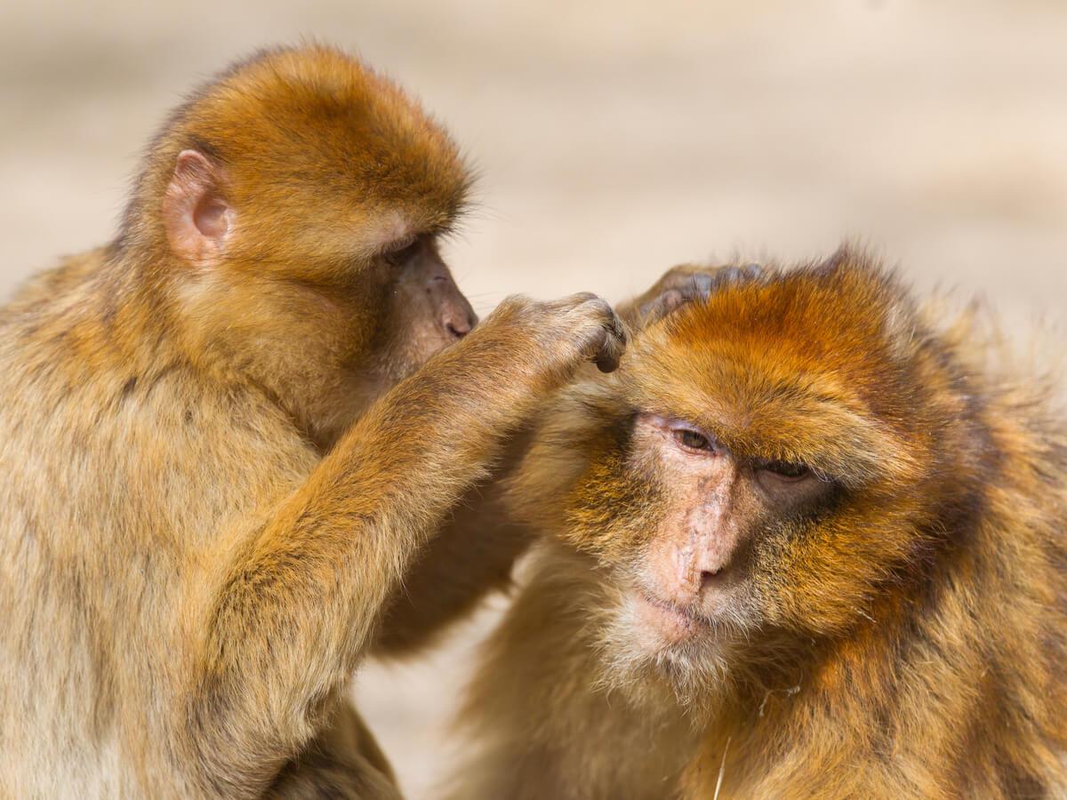Die vier Fragen von Tinbergen helfen uns, das Verhalten von Primaten zu entschlüsseln.