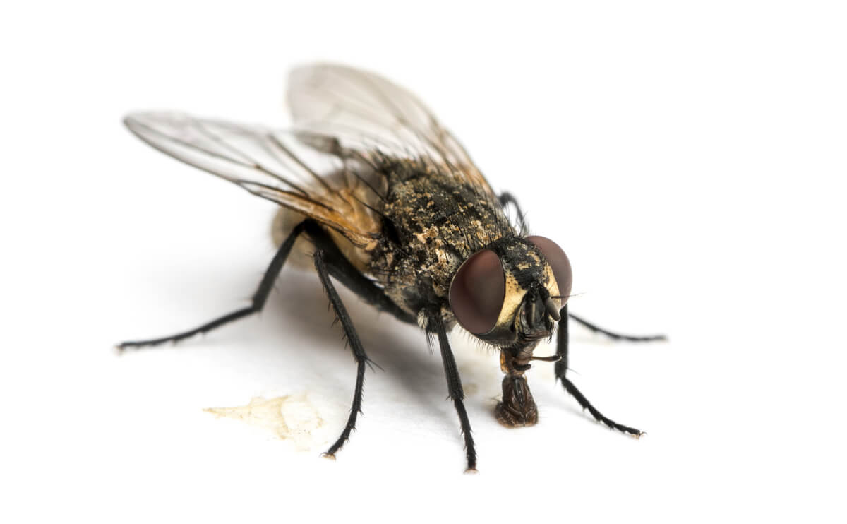 Las moscas son especies sinantrópicas.