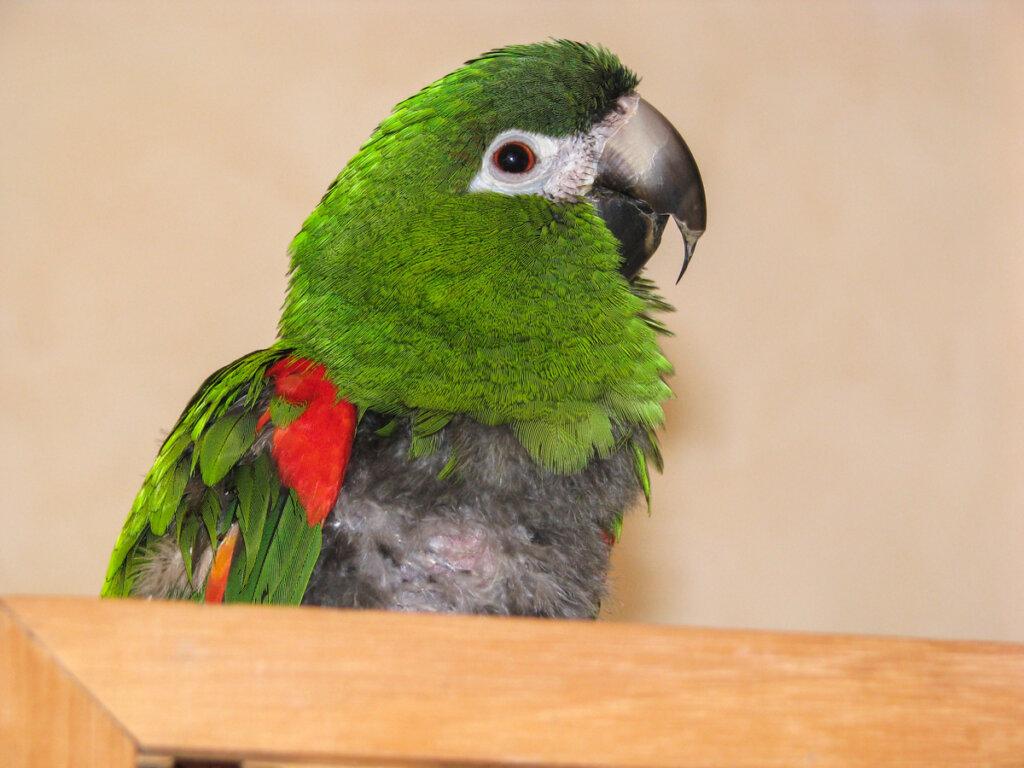 Ornitosis o psitacosis en aves: causas, síntomas y tratamientos