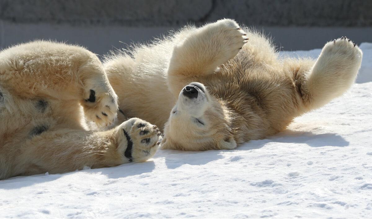 L'une des curiosités des mammifères est que les ours polaires ne sont pas blancs.