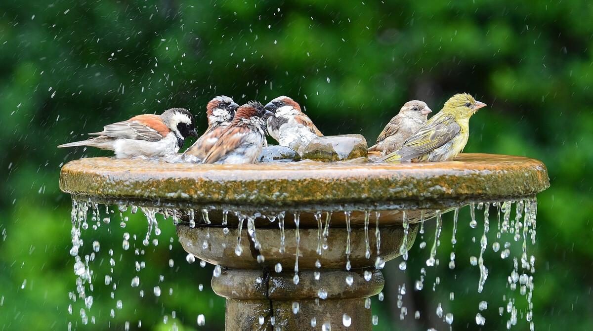 Certains oiseaux se baignent dans une fontaine.