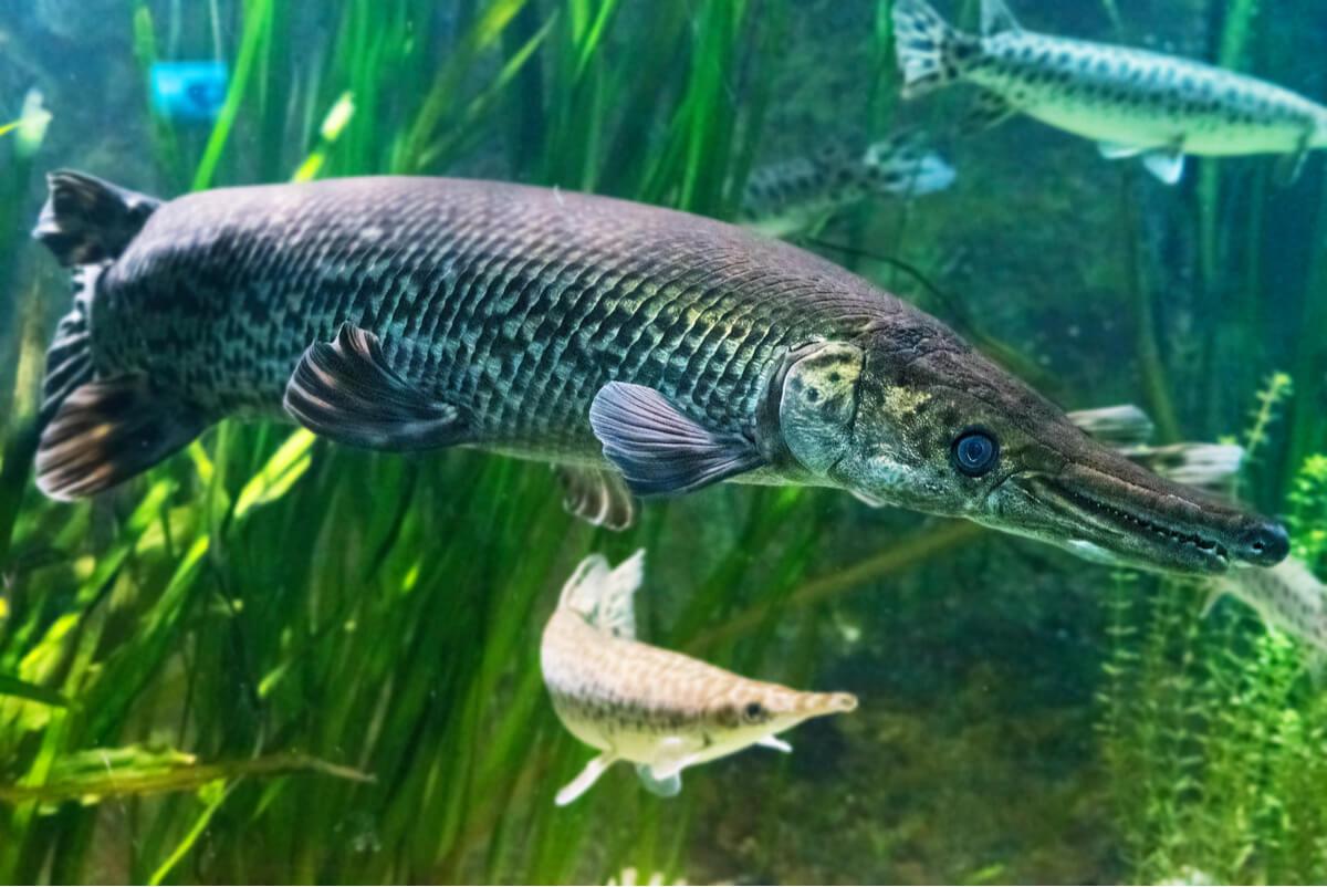 Los peces lagarto son unos de los peces más raros del mundo.