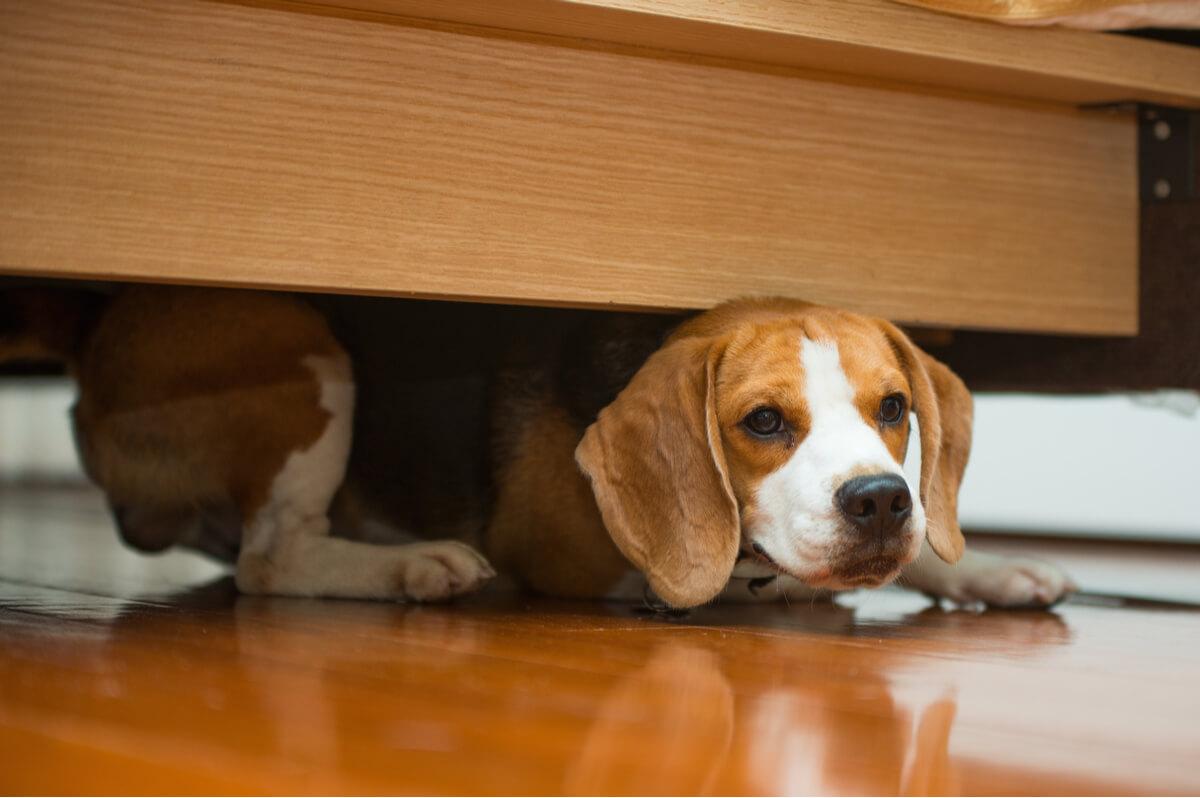 Un perro se esconde bajo la cama.