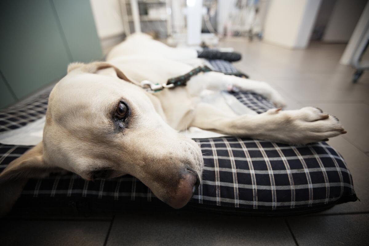 Ein kranker weißer Hund beim Tierarzt, ein Beispiel für eine Hundeneosporose.