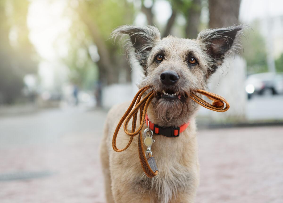 Un perro con la correa en la boca.