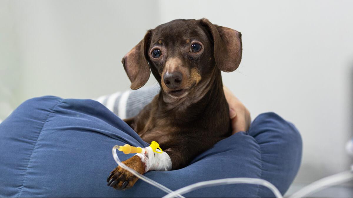 La terapia intravenosa en mascotas y sus posibles complicaciones