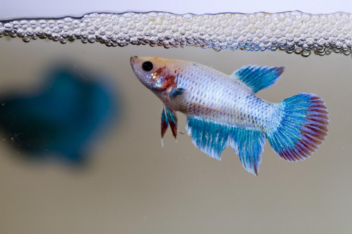 A betta fish builds a nest.
