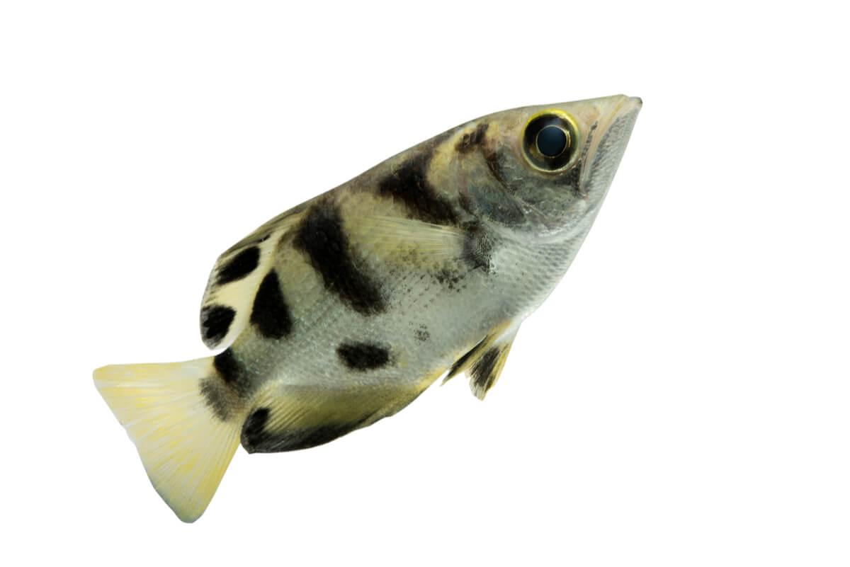 Un pez arquero sobre un fondo blanco.