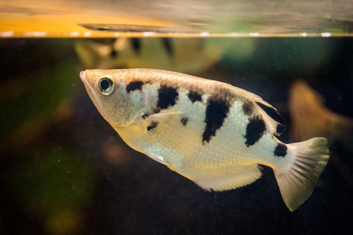 Un tercio de los peces de agua dulce están en peligro de extinción.
