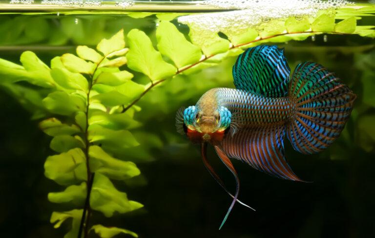 ¿Por qué el pez betta es agresivo?