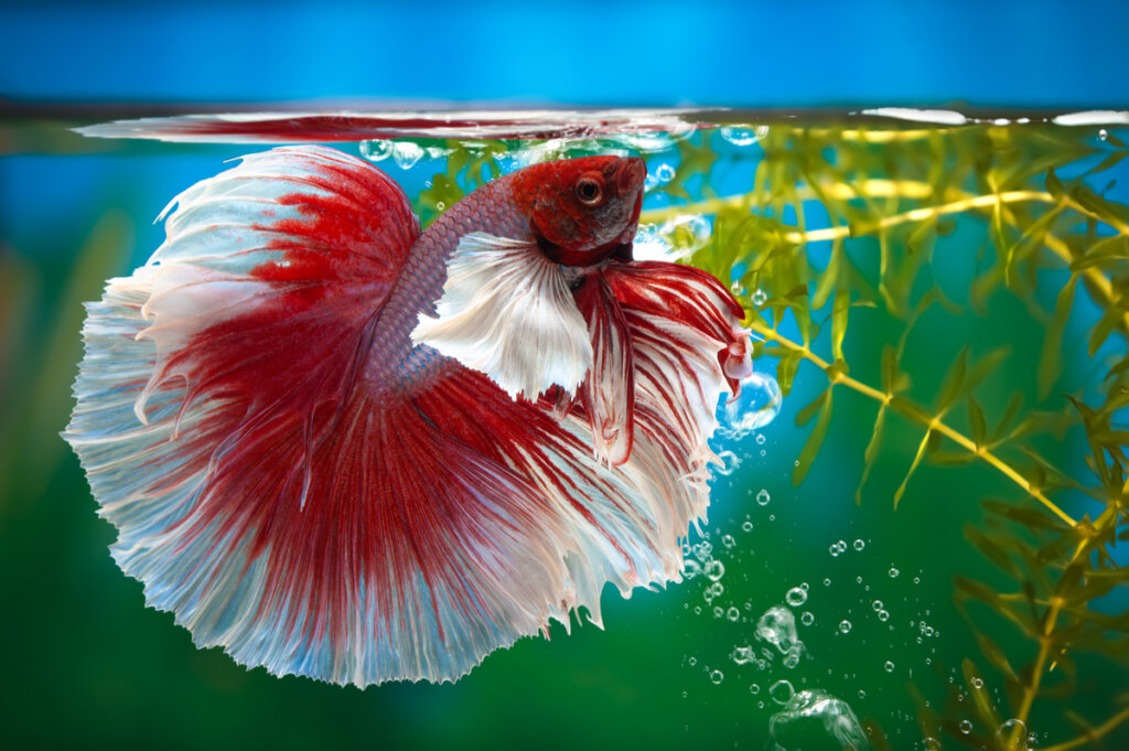 Pez betta (Betta splendens): cuidados y cría en cautiverio