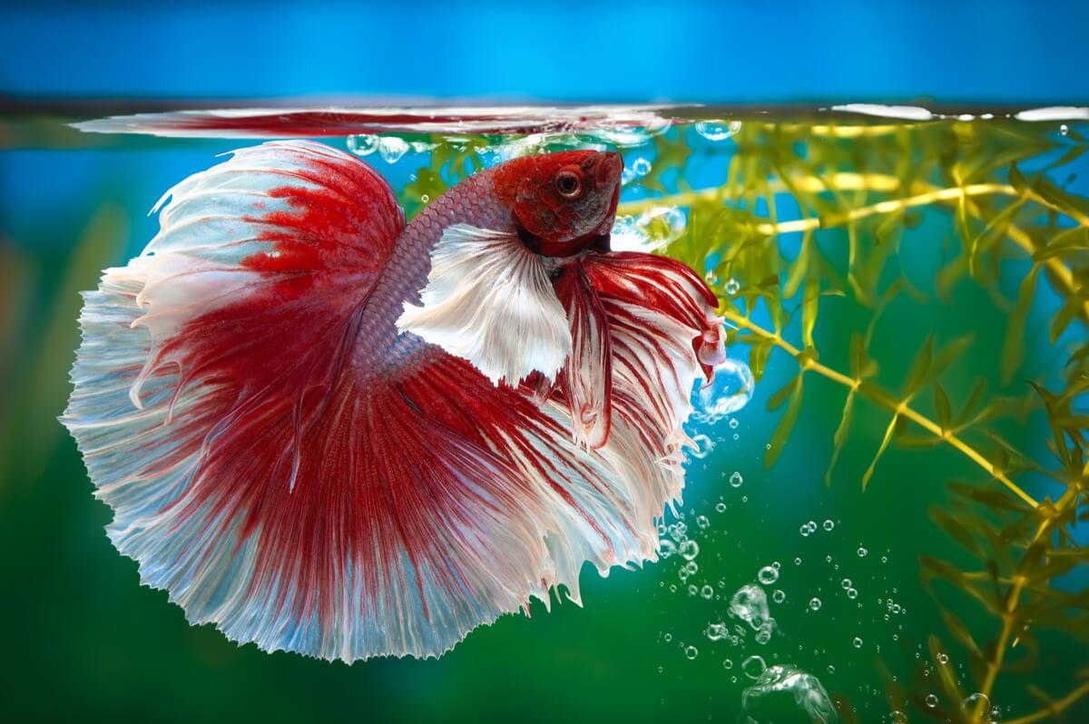 A betta fish in a fish tank.