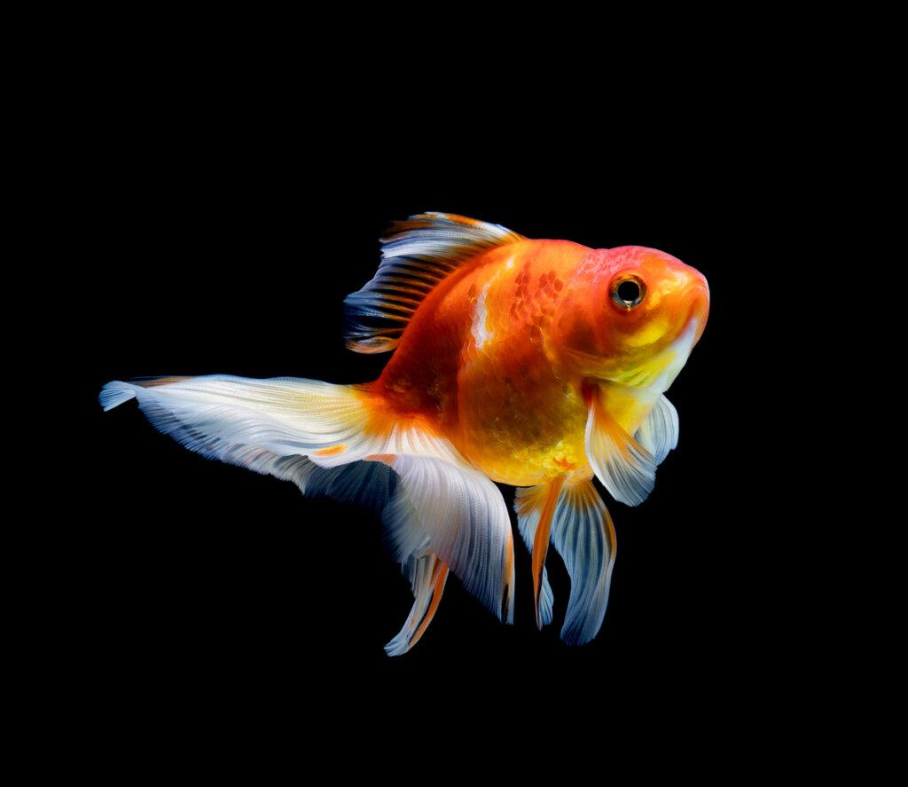 Hidropesía en peces: causas, síntomas y tratamiento