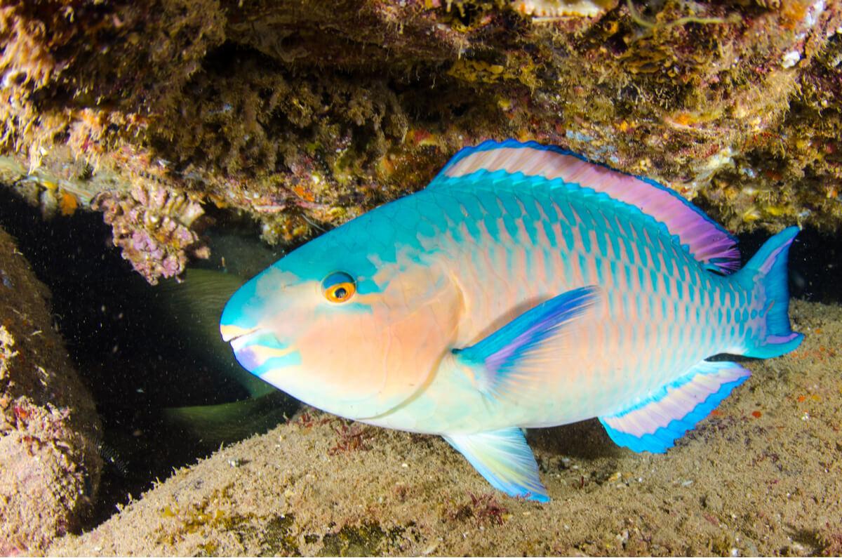 Un poisson-perroquet dans la mer.
