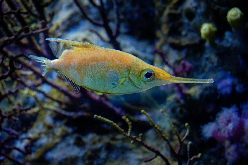 Pez trompetero: hábitat y características