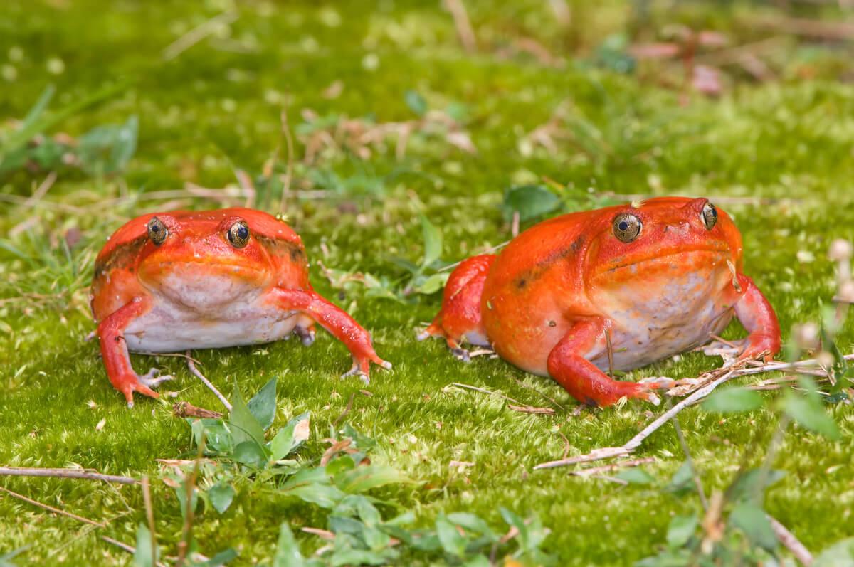 Dos ejemplares de rana tomate.