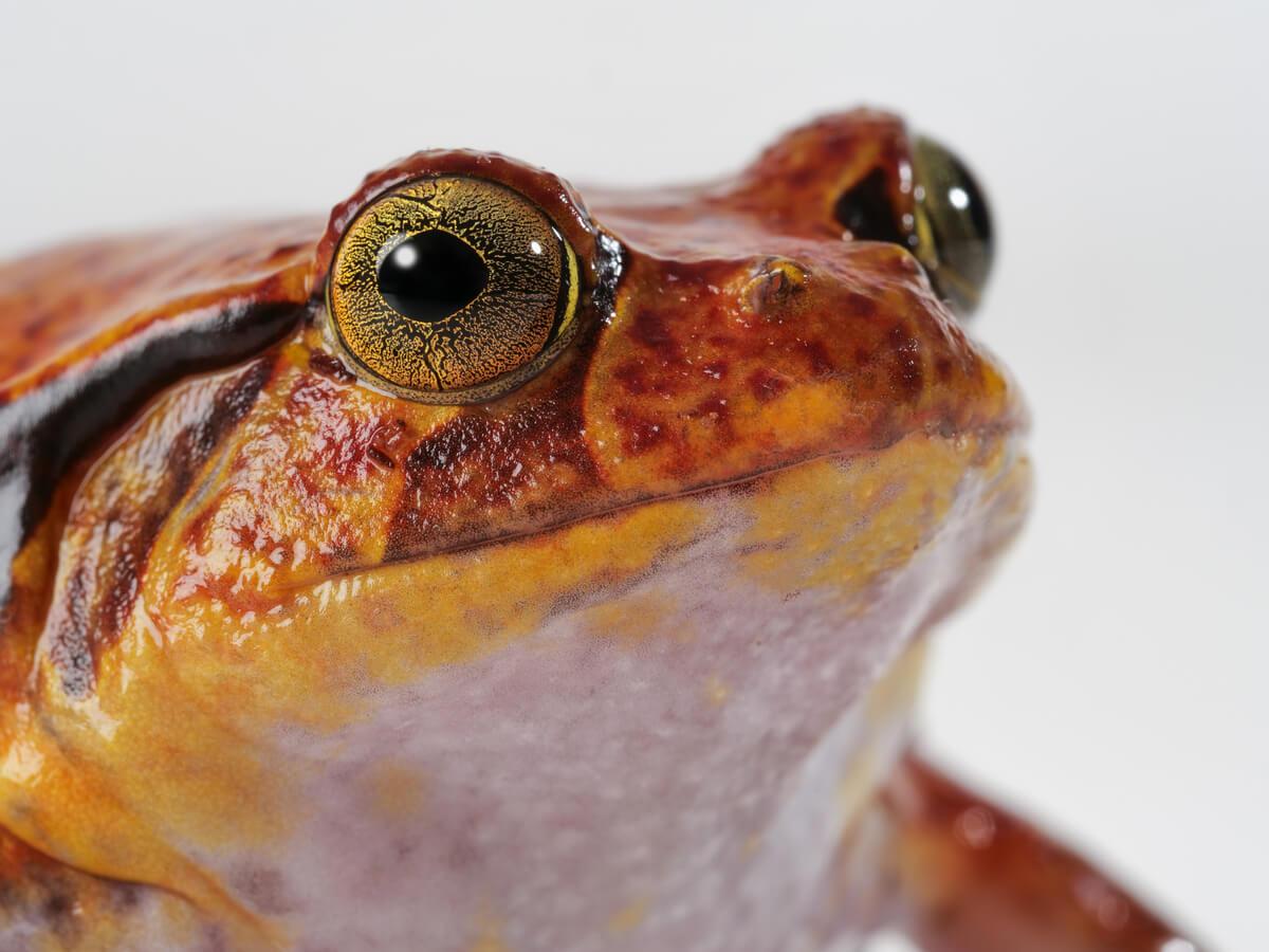 Un detalle de los ojos de una rana tomate.