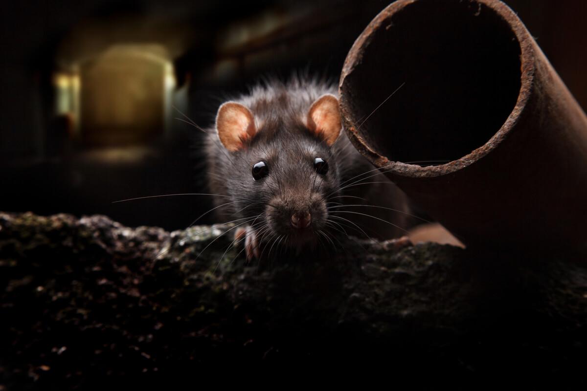 Las ratas son animales que viven escondidos en tu casa.