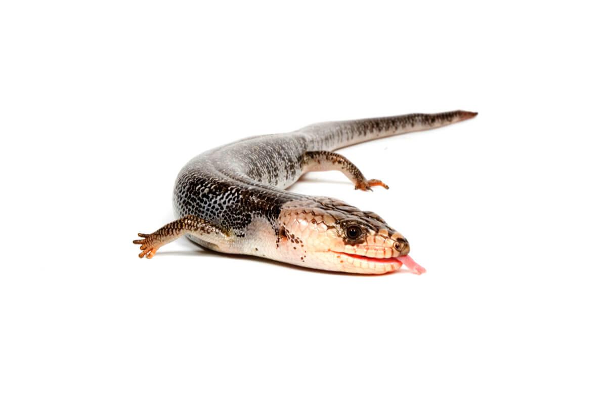 Un lagarto de lengua rosa.