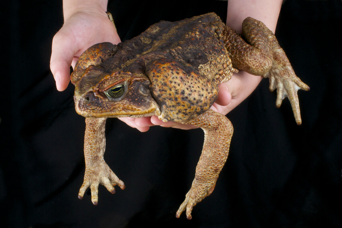 A cane toad is caught by a person.