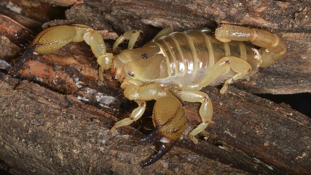 Scorpio maurus sobre madera.