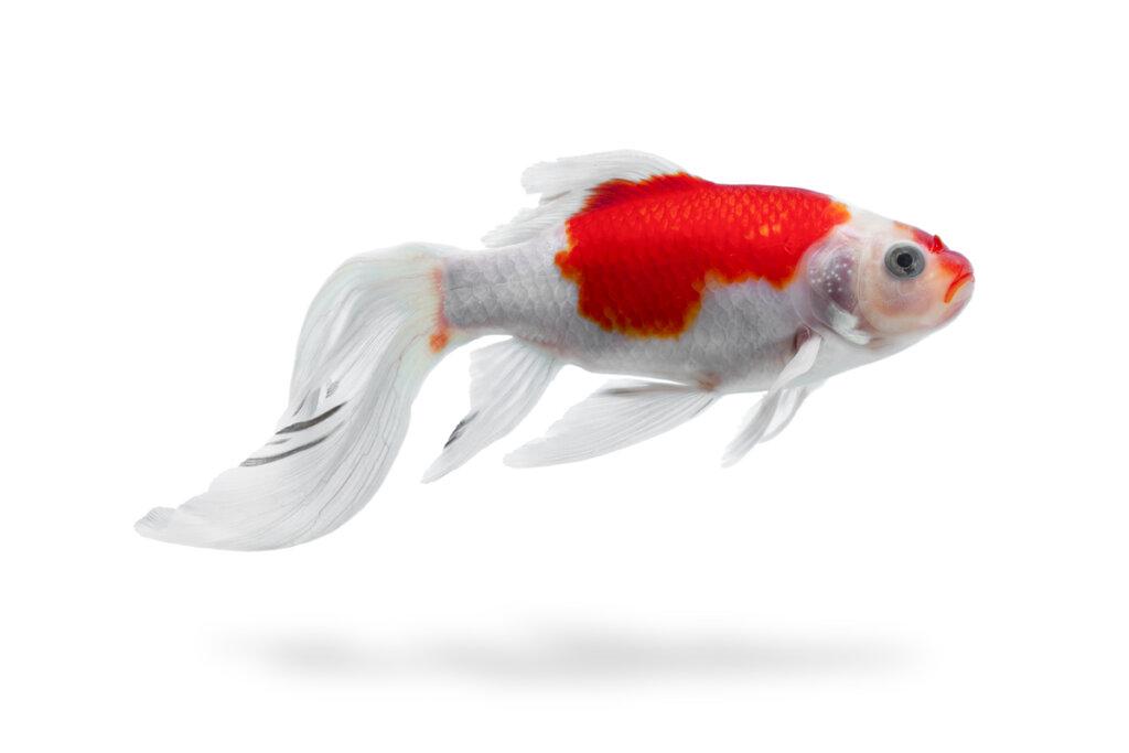 Septicemia hemorrágica viral en peces