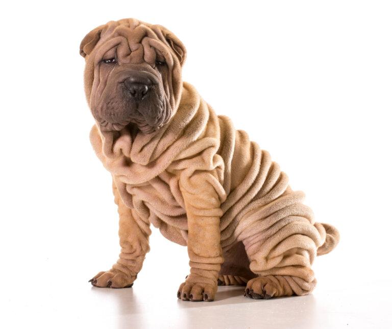 Cuáles son los cuidados en los Shar Pei? - Mis Animales